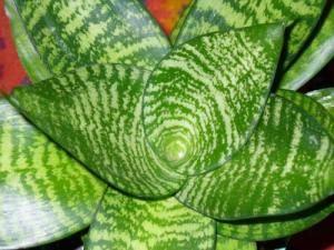 Сансевиерия листья