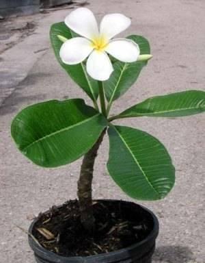 Плюмерия цветок в вазоне
