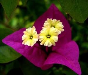 Бугенвиллия цветок и прицветок