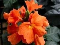 Кроссандра OrangeMarmalade