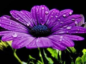 Фиолетовые комнатные цветы придают  экзотики
