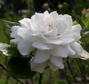 Гардения жасминовая цветок
