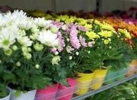 Карликовые хризантемы в вазонах