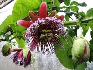 Пассифлора цветы