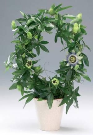 Пассифлора в вазоне цветение