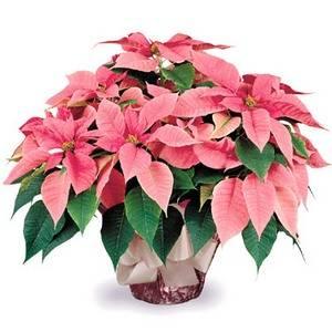 Пуансетия имеет необычайно красивые прилистники цветков