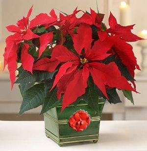 Пуансеттия домашняя рождественская звезда