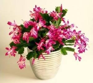 Декабрист (Шлюмбергера) - необычный кактус в домашних условиях