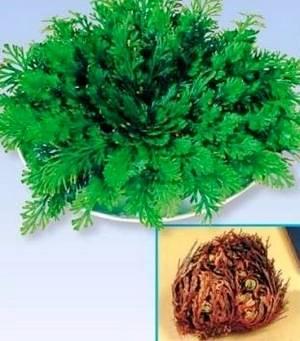 Силангинелла может усыхать и раскрывать листья при каждом поливе