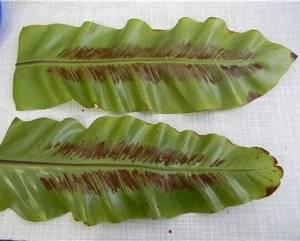 Размножать аспленум можно семенами, если созрели сорусы