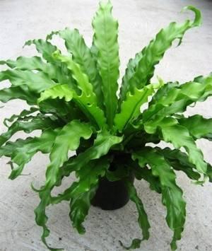 Аспленум, костенец, папоротник, удивительное реликтовое растение