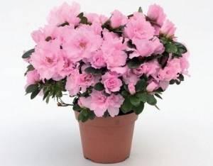 Азалия в вазоне - пышное цветение