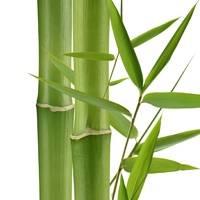 Бамбук можно обрезать при уходе за ним