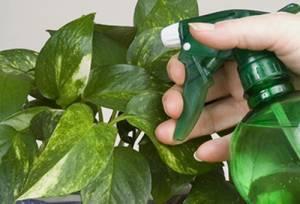 Борьба с белокрылкой - опрыскивание растений