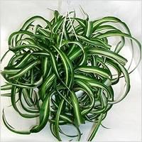 chlorophytum-s2