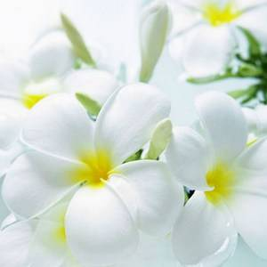 Комнатных цветов с белыми цветами большое множество