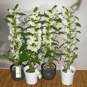 Дендробиум орхидея любимица многих садоводов