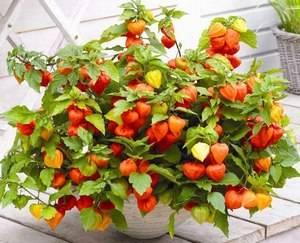 Физалис выращивают как декоративное растение