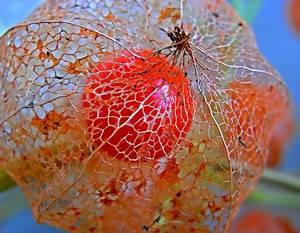 Плоды физалиса дозревают в коробочке