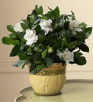 Гардения жасминовая цветение