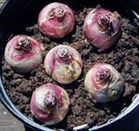 Гиацинты можно посадить на осень в своем саду