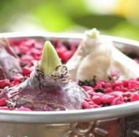 Гиацинты прекрасно приживаются в горшочках и в открытом саду