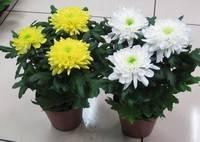 Советы по уходу за хризантемой в домашних условиях
