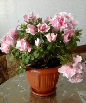 Цветение азалии в вазоне