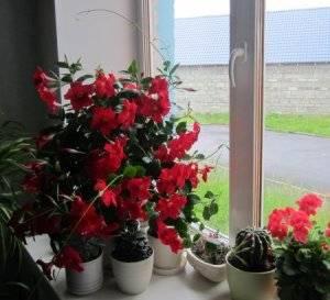 Дипладения в вазоне на окне