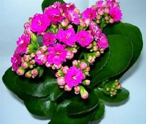 Каланхоэ прекрасное растение для ухода и пользы в доме