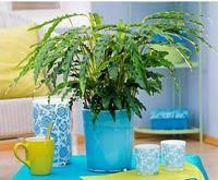Частые проблемы калатеи - сохнут и скручиваются листья