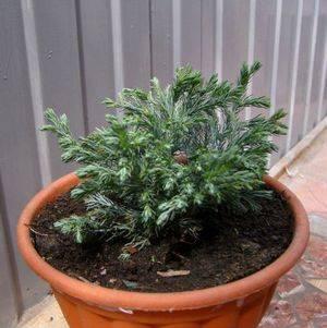 Размножать кипарис лучше вегетативно