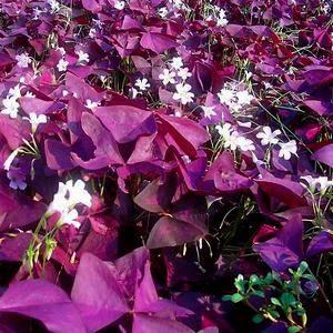Кислица цветет зимой, когда многие растения отдыхают
