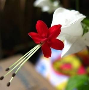 klerodenrum-zvetok