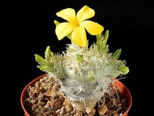 Пахиподиум короткостебельный цветение