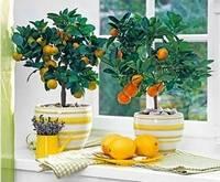 Декоративный лимон в вазоне