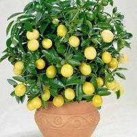 Комнатный лимон в вазоне
