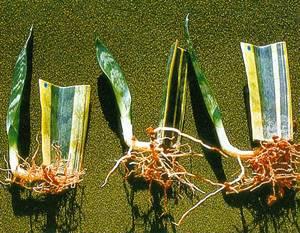Сансевиерия размножение листовыми пластинами
