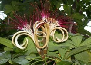 Пахира водная - цветение