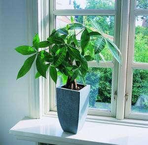 Пахира в вазоне на окне
