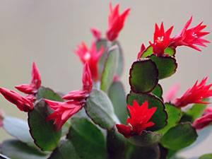 Декабрист (Шлюмбергера) цветение