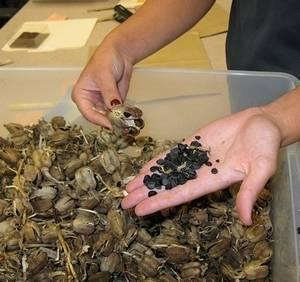 Юкку можно размножить семенами, но это кропотливое занятие