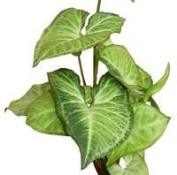 Сингониум отличное растение