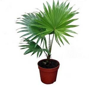 Вашингтония пальма президента в вашем доме