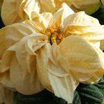 Пуансеттия winter_rose_white