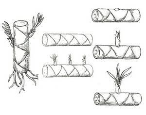 Схема размножения юкки стеблевыми черенками