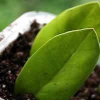 Замиокулькас может размножаться листами