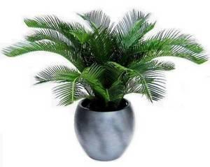 Цикас или саговая пальма прекрасно уживется в доме