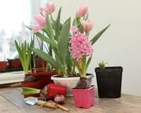 Как посадить гиацинты осенью - советы цветоводов