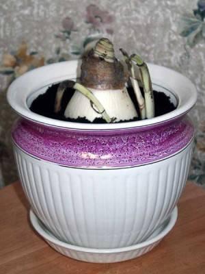 Луковица кринум в горшке